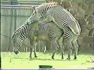 Horny zebras fucking each other in an outdoor scene
