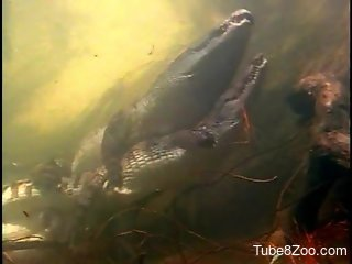 Crocodile hard sex video with amazing close-ups