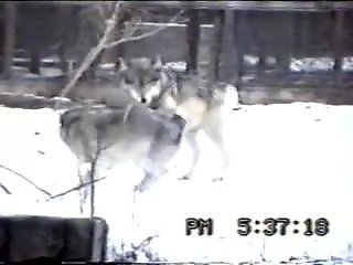 Wolves fucking each other's brains out while outdoors
