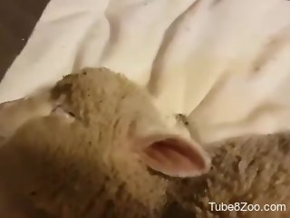 Sheep endures man's erect penis in full zoophilia glory