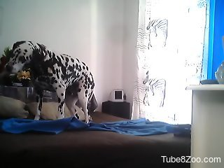 Dalmatian dog is about to endure a pretty big dick in its ass